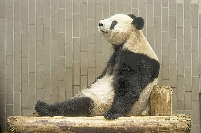木の椅子にのんびり暇そうに座っているパンダ