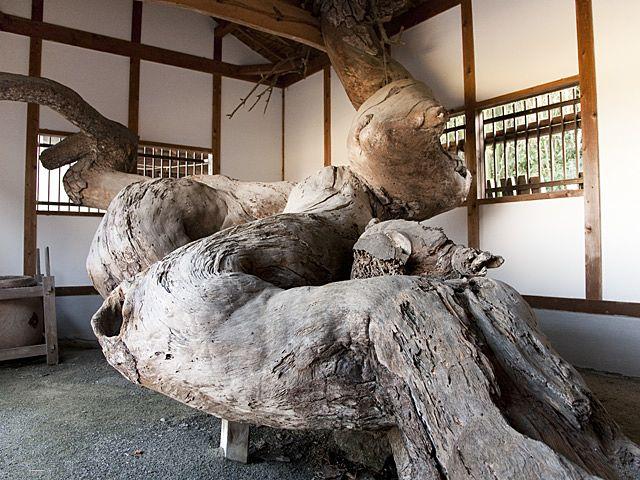 幹も枝もくねくねと曲がり、大蛇のようにも見える投げ松。