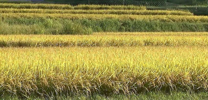 黄金色の絨毯を敷き詰めたような稲穂