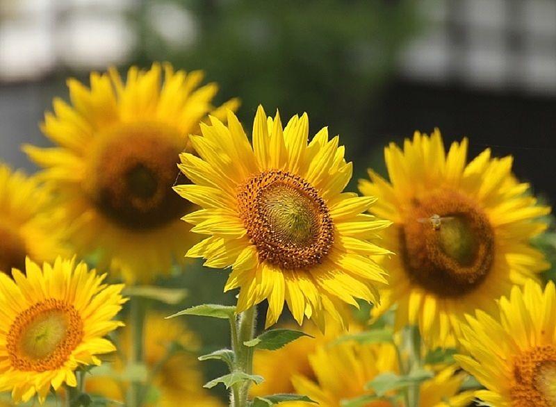 各地にひろがり花を咲かせる、はるかのひまわり