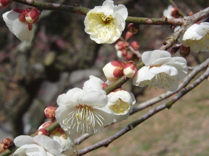 万葉集に歌われた梅の花です