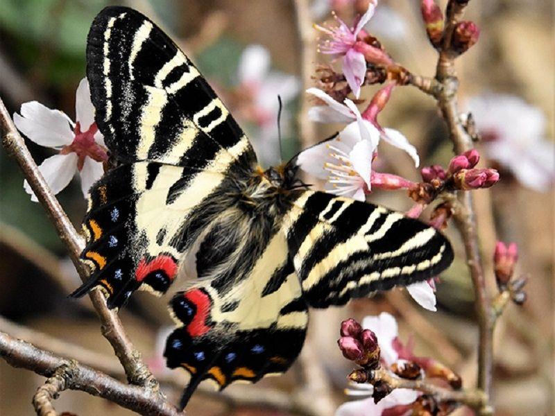 絶滅危惧種Ⅱ類に指定している「ギフチョウ」