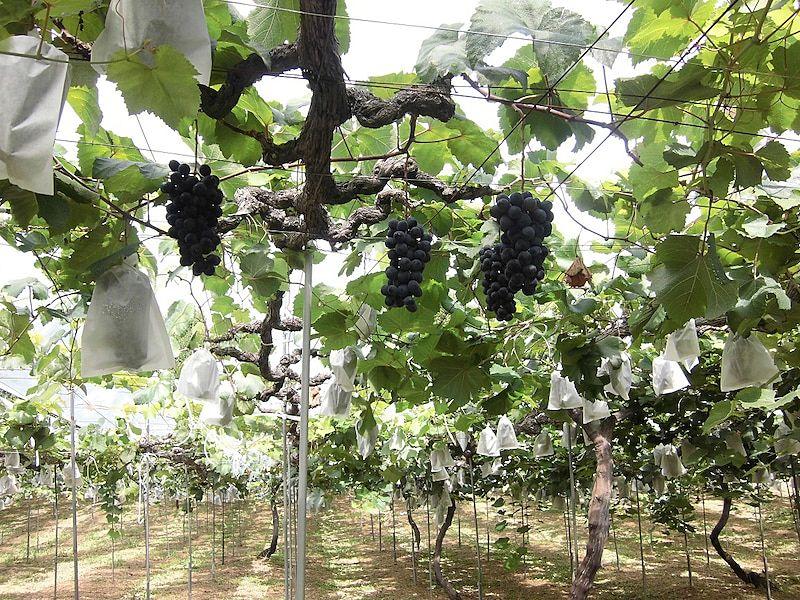 みとろ観光果樹園で「ぶどう狩り」!くせのない風味の「ベリーA」を直接もぎ取って食べ放題です!