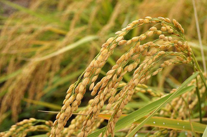 稲が実を熟すほど穂が垂れ下がるように、人間も学問や徳が深まるにつれ謙虚になる。