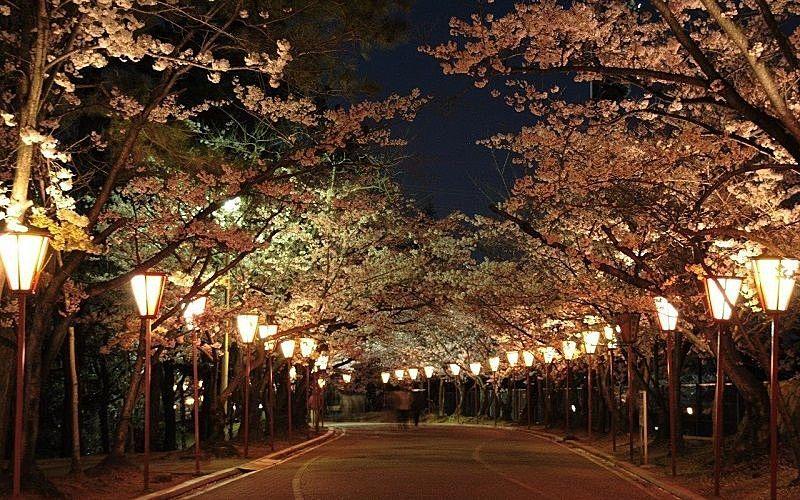 日岡山公園で夜桜を照らすぼんぼり(329基)の設置も見合わです!