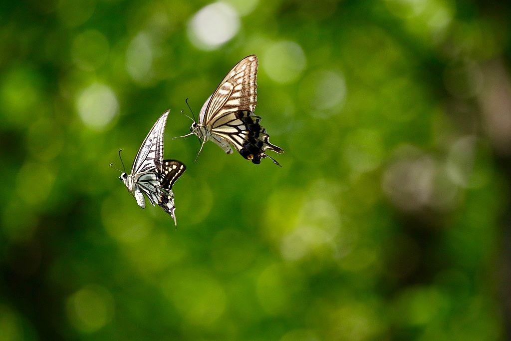 飛びながら出会った二頭の蝶。