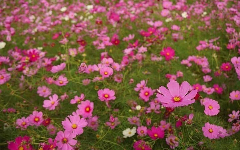 11月3日(火・祝)天下原コスモス祭り2020が開催されます!