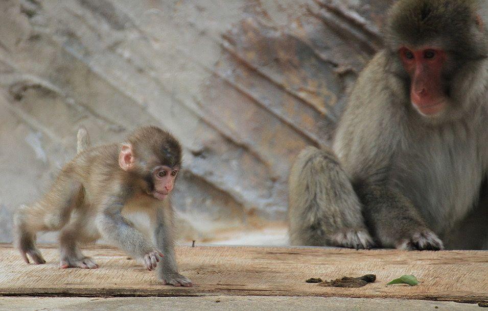 子猿を遠くから見守っている親猿。