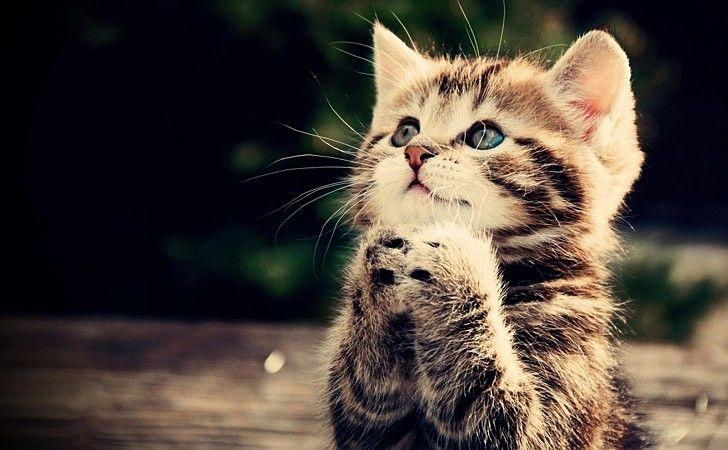 両手を体の前で合わせて、祈っているようなしぐさの猫。