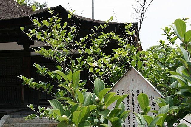 鶴林寺本堂の前、両側には沙羅の樹と菩提樹が植えられています。