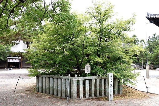 鶴林寺本堂の前、両側には菩提樹と沙羅の樹が植えられています。