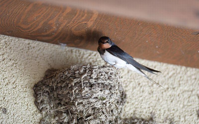 家 巣 作る が つばめ を ■豆知識