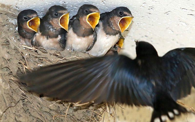 ツバメは幸せを運んでくれる!ツバメの巣は幸運の象徴!燕の巣がある家は縁起がいい!