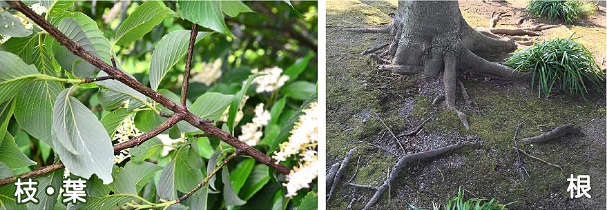植栽の「根」が越境している場合の民法上の対応