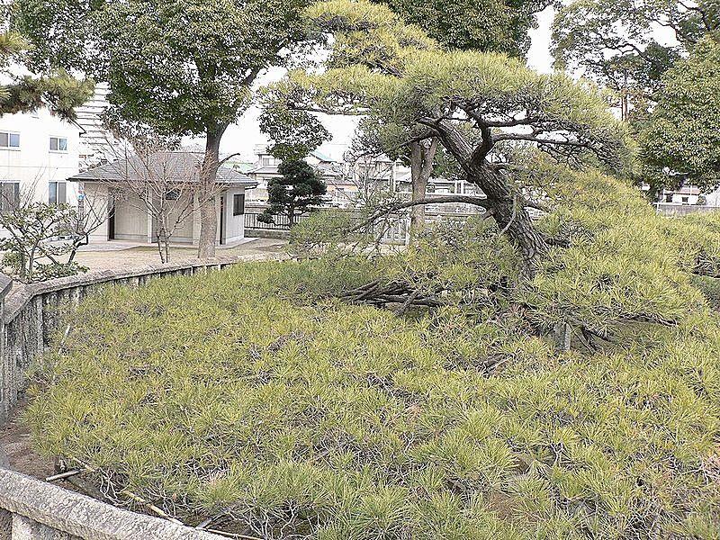 青々とした枝が円形に広がり優美な姿の手枕の松。