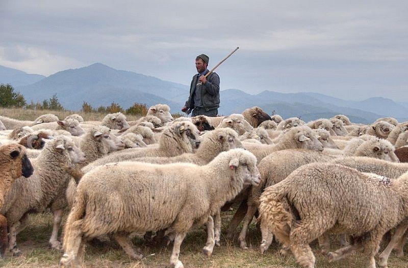 たくさんの羊を飼う遊牧民
