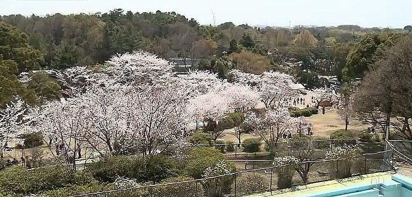 市内最大の桜の名所、日岡山公園