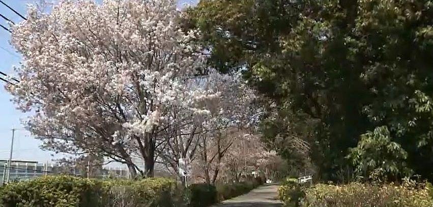 薄紅色の花を付けた桜並木が美しい新井緑道